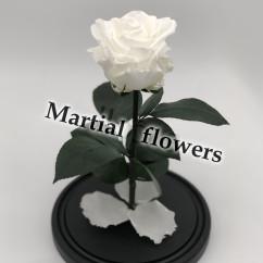 Белая роза в колбе 27 на 15 см Standart