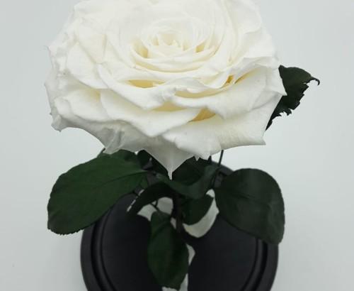Белая роза в колбе 27 на 15 см KING