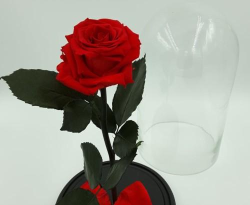 Стандартная красная роза а колбе